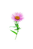 Daisy. Pink daisy isolated on white Royalty Free Stock Images