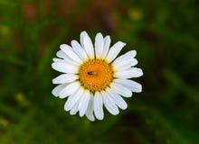 Free Daisy Stock Photography - 72629112