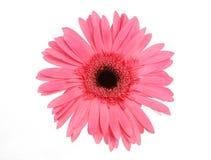 Daisy. Close-up daisy stock photos