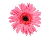 Daisy. Close-up daisy royalty free stock photos