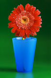 Daisy. Red daisy in blue glass stock images