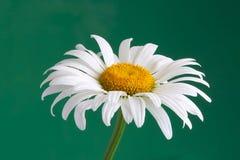 Daisy. White daisy Stock Photos