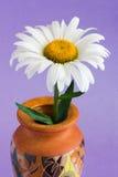 Daisy. White daisy in vase on Stock Photography