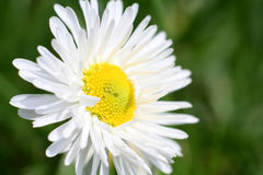 Daisy. On green background Royalty Free Stock Images