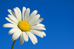 Daisy. A white daisy in the sky Stock Photography