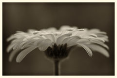 Daisy Stock Afbeeldingen