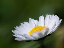 Free Daisy Stock Image - 89368731