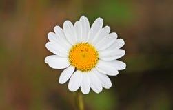 Daisy Royalty-vrije Stock Afbeelding