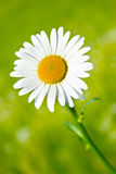 Daisy. Fresh and beautiful daisy flower in the garden Royalty Free Stock Images