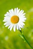Daisy royalty-vrije stock afbeeldingen