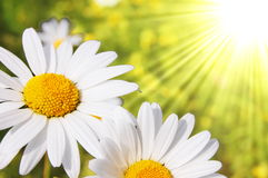 Daisy. Flower on a sunny summer field Stock Image