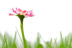 Daisy. Colorful daisy in the meadow stock photography