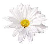 Daisy. Isolated on a pure white background royalty free stock images