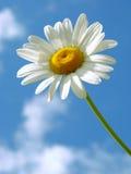 Daisy. Wild daisy against blue sky with light clouds stock photo