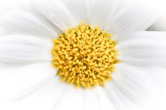 Daisy abstract background Royalty Free Stock Images