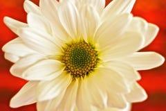 Daisy Against bianca un fondo rosso Immagine Stock