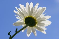Daisy against blue sky. Low angle shot of daisy Stock Photos