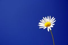 Daisy against a blue sky. Daisy flower against a deep blue sky royalty free stock image