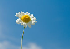 Daisy against blue sky Royalty Free Stock Photos