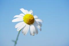Daisy against blue sky Stock Photo