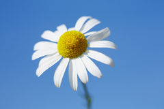 Daisy against blue sky Royalty Free Stock Photo