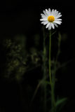 Daisy against dark background Stock Photo