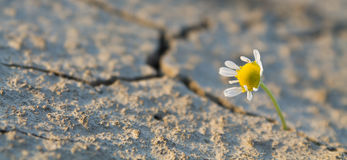 Daisy against drought Stock Photo