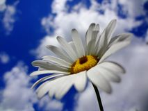 Daisy against summer sky in the clouds. stock photos