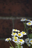 Daisy Against Wall Stock Photography