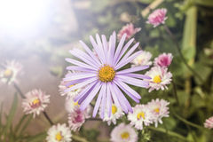 Daisy alpinus Royalty Free Stock Images