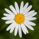 Ox-eye daisy in front of green grass royalty free stock photography