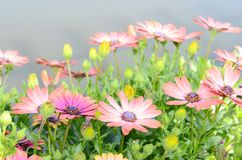 Daisy 'aster' flowers Stock Images