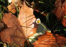 Daisy in autumn Royalty Free Stock Image