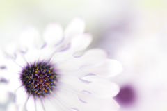 Daisy Background. Background of pretty white and purple daisies, in very soft focus Royalty Free Stock Image