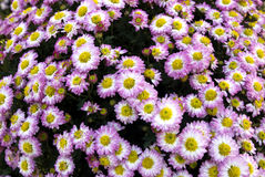 Daisy background Stock Photography