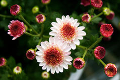 Daisy background. Background  of seveal daisy flowers.Photo taken on: Nov. 10th, 2009 Royalty Free Stock Photo