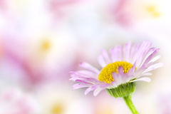 Daisy Background. Single delicate daisy, in soft focus over blurred background.  This is erigeron karvinskianus, or Australian daisy Stock Photo
