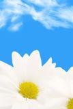 Daisy background Stock Photography
