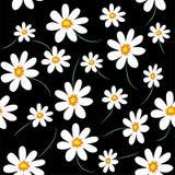 Daisy background. White flowers on black background Stock Image