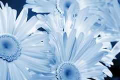 Daisy background. Picture of a Daisy background (toned in blue Royalty Free Stock Image