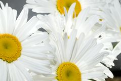 Daisy background. Picture of a beautiful daisy background Stock Images