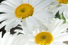 Daisy background Stock Images