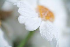 Daisy background. / background, beautiful, beauty Stock Photos