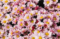 Daisy Background immagini stock