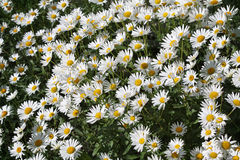 Daisy Background Royaltyfri Bild