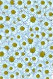 Daisy Background Stock Photos