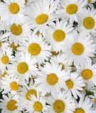 Daisy background. A white field daisy background royalty free stock photography