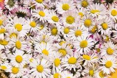 Daisy Background Lizenzfreie Stockfotos