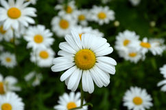 Daisy Royalty Free Stock Image