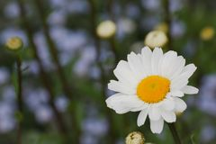 Daisy on the background of buds and forget-me-nots royalty free stock photography